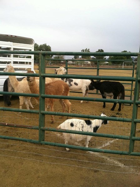 Lil Buckaroos Mobile Petting Zoo