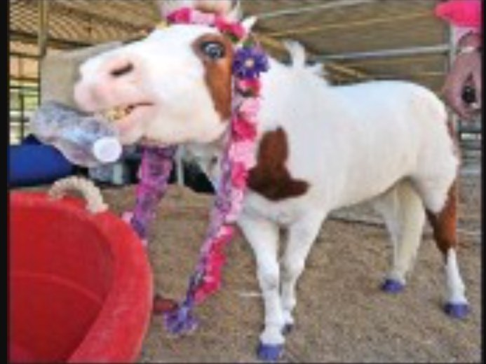 Cherry The Miniature Trick Horse & Nancy Degan - Pony Rides - Santa Clarita, CA