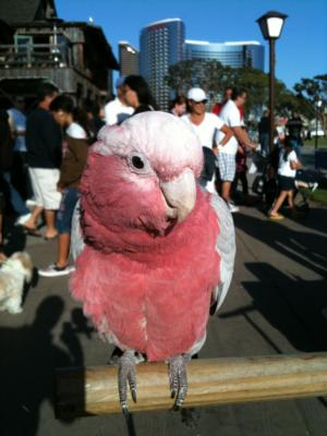 Joel's Exotic Parrot For Events And Parties | Oceanside, CA | Animals For Parties | Photo #13